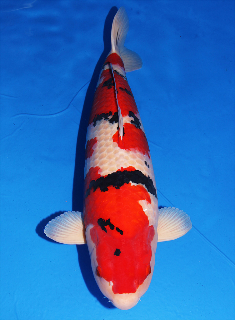 A Sanke koi ready to be judged
