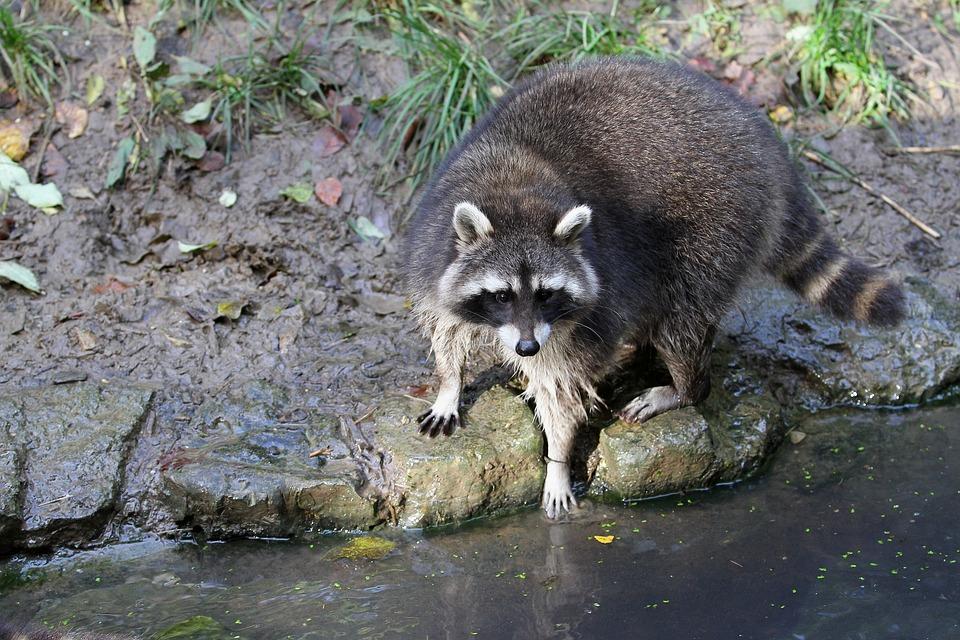 raccoon-2894866_960_720.jpg