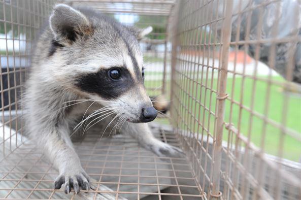 raccoon in trap.JPG