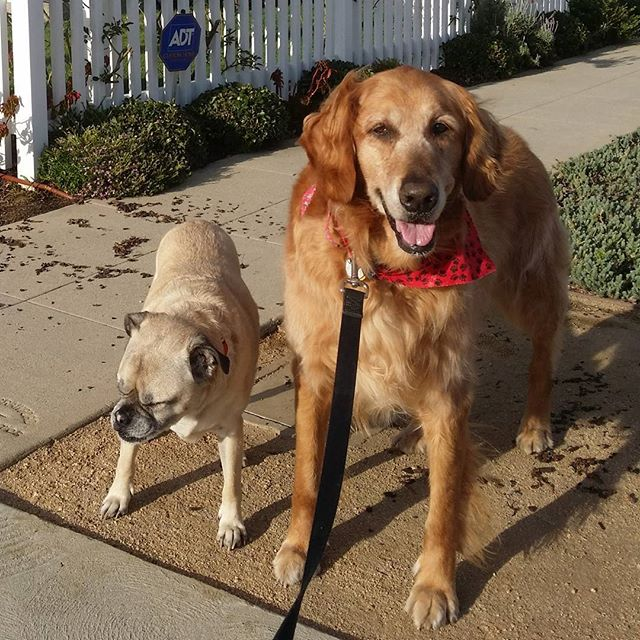 Goofus and Gallant #puggle #goldenretriever #ohrandy #goofusandgallant #oddcouple #nopicturesplease