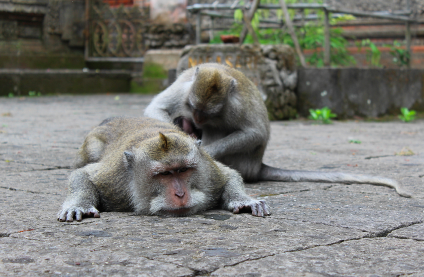 Funny monkeys in Ubud