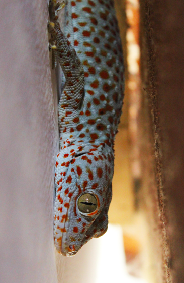 Very loud 7inch gecko