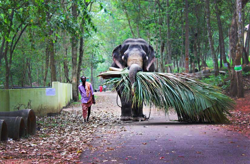 A working elephant at the sanctuary carries palm branches near Trivandrum, Kerala