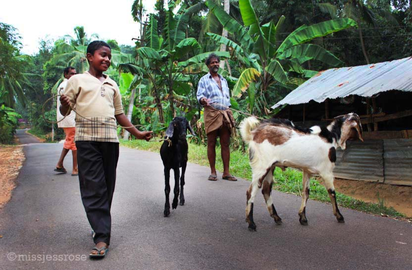 Ain't no thing, just taking the goats for a walk
