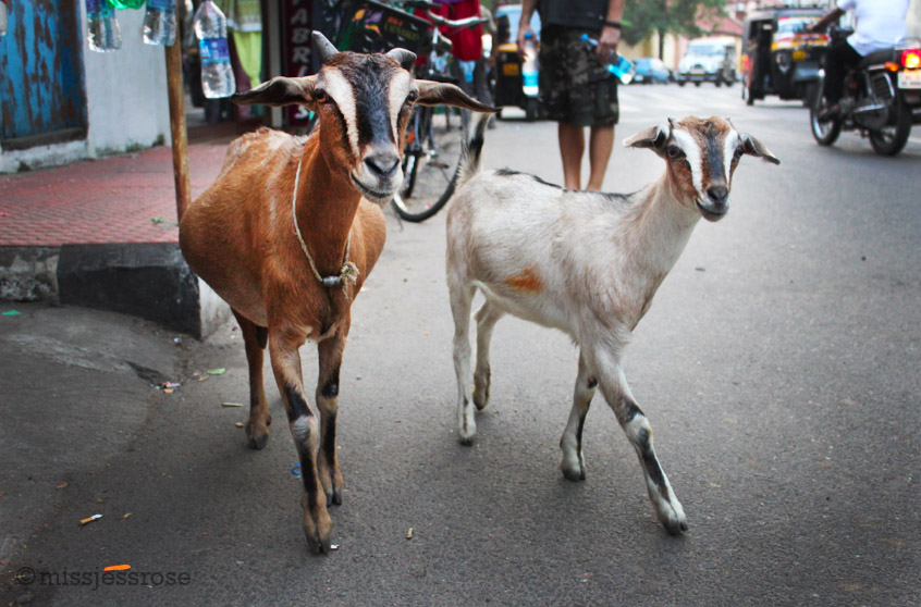 Goats roaming the streets of Kochi