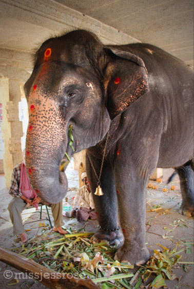 Lakshmi eating bunches of sugar cane