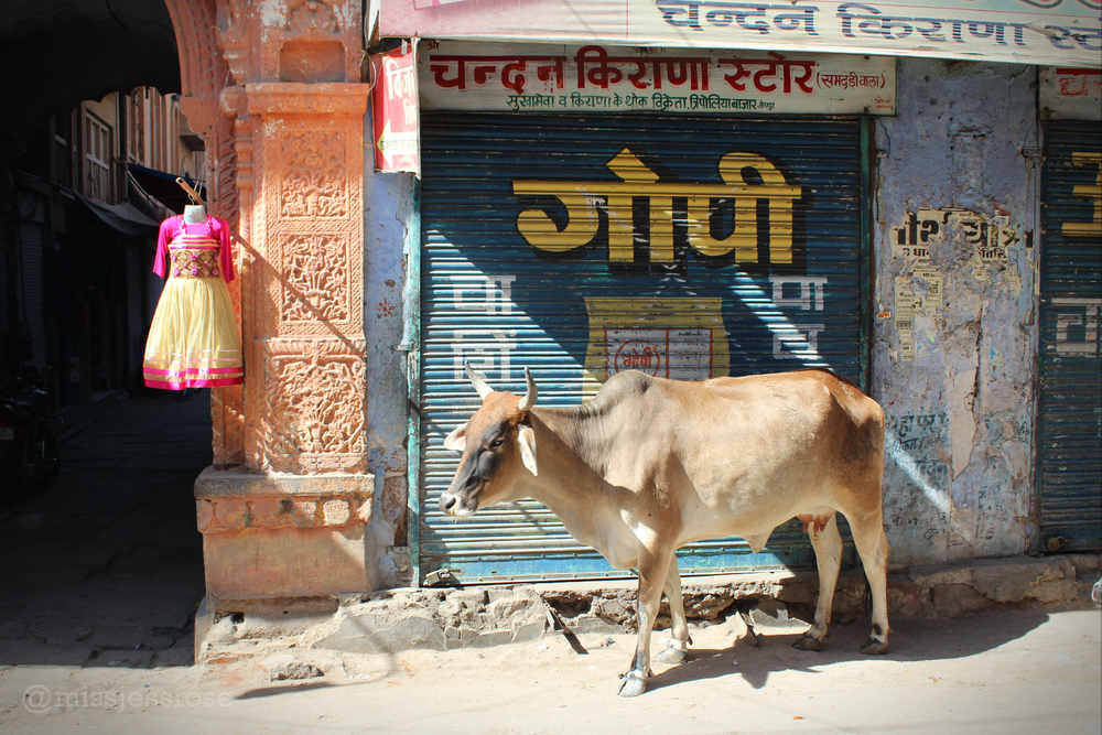 Street cow chillaxing in Jodhpur, India.