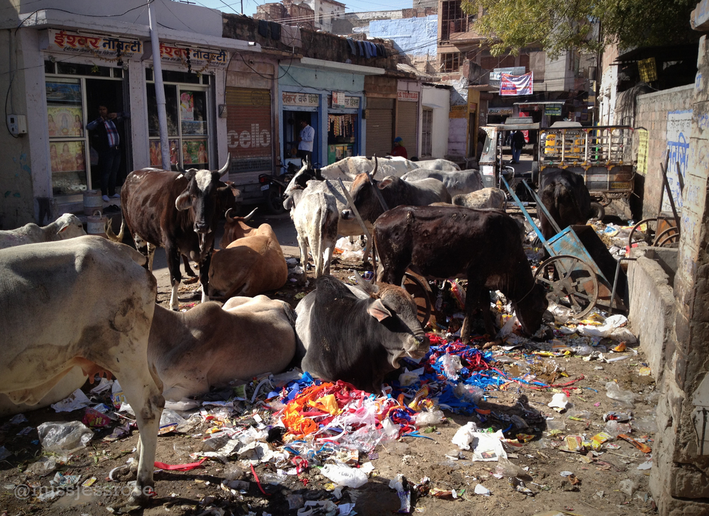 Cows sleeping in a heap of garbage—a normal sight in Jodhpur.