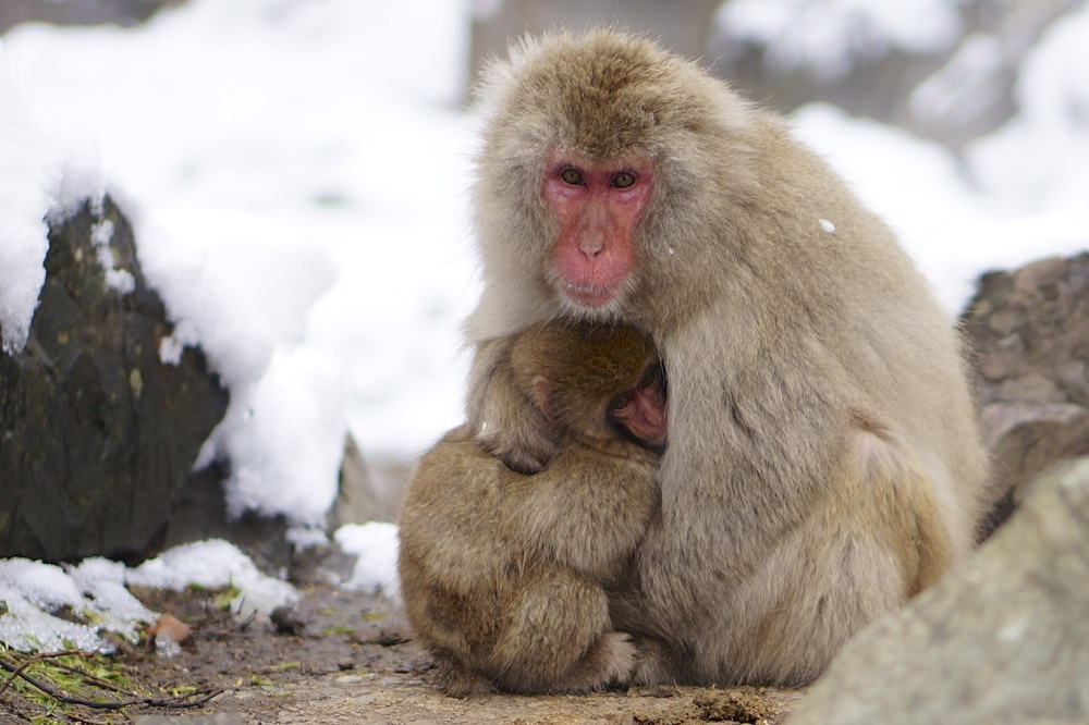 Sow Monkey Park, Yudanaka, Japan