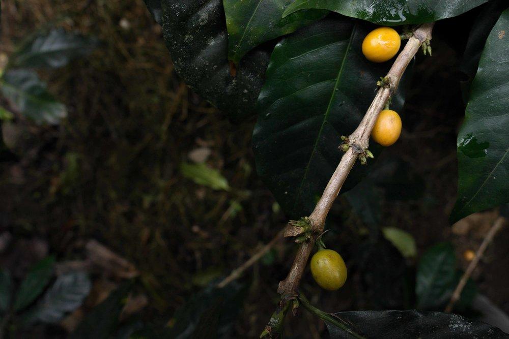 La-Fortuna-Peru-Quills-Cafe-Imports.jpg