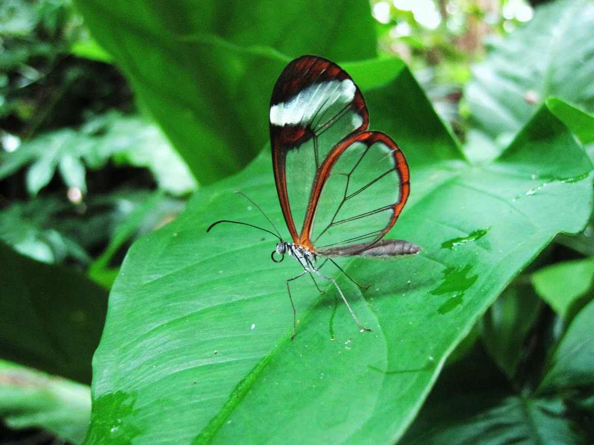laughingsquid :      Glasswing Butterfly