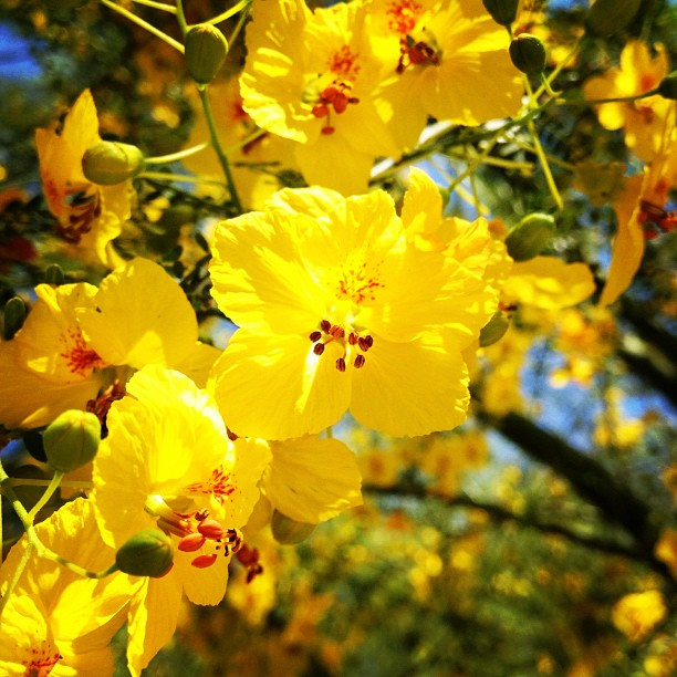 Palo Verde flowers (Taken with  instagram )