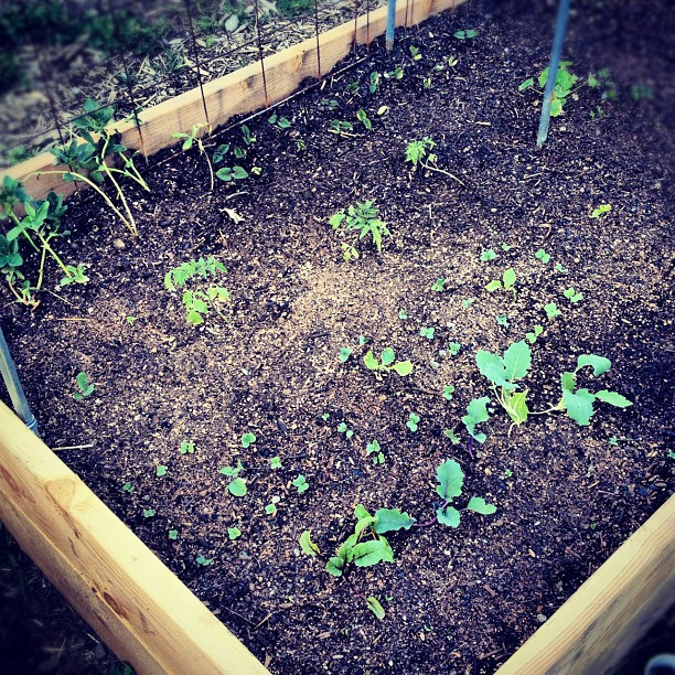 Sprouts! (Taken with  instagram )
