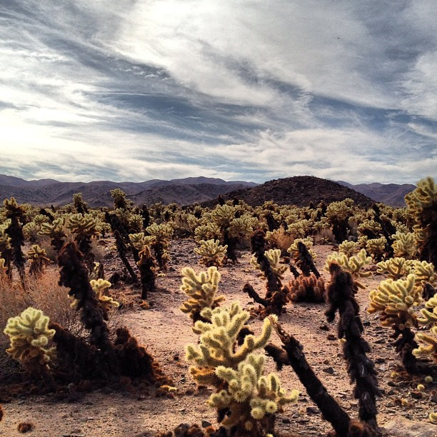 Cholla garden (Taken with Instagram at Cholla Cactus Garden)