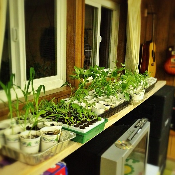 Seedlings that are getting planted tomorrow. (Taken with instagram)