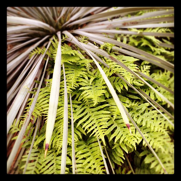 Fern and yucca symbiosis.  (Taken with  instagram )