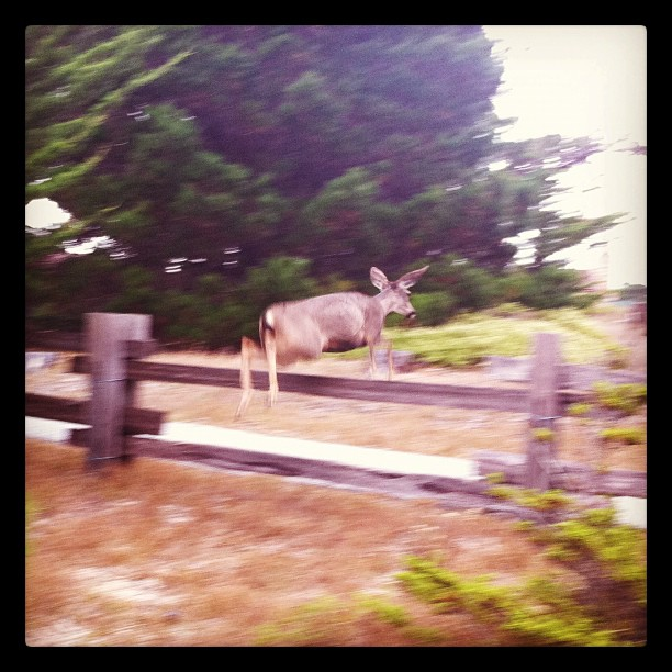 Deer on the grounds / in the air.  (Taken with  instagram )