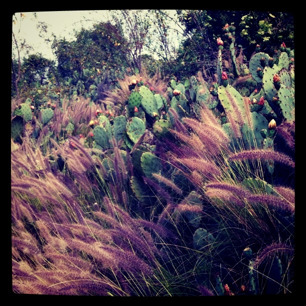 Cactus flowers (Taken with instagram)