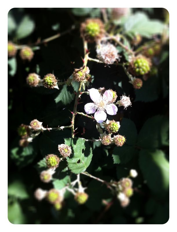 After waiting for 2 years, our blackberries are growing.