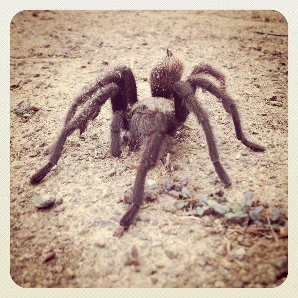 Tarantula (Taken with  instagram  at Claremont Wilderness Trail)