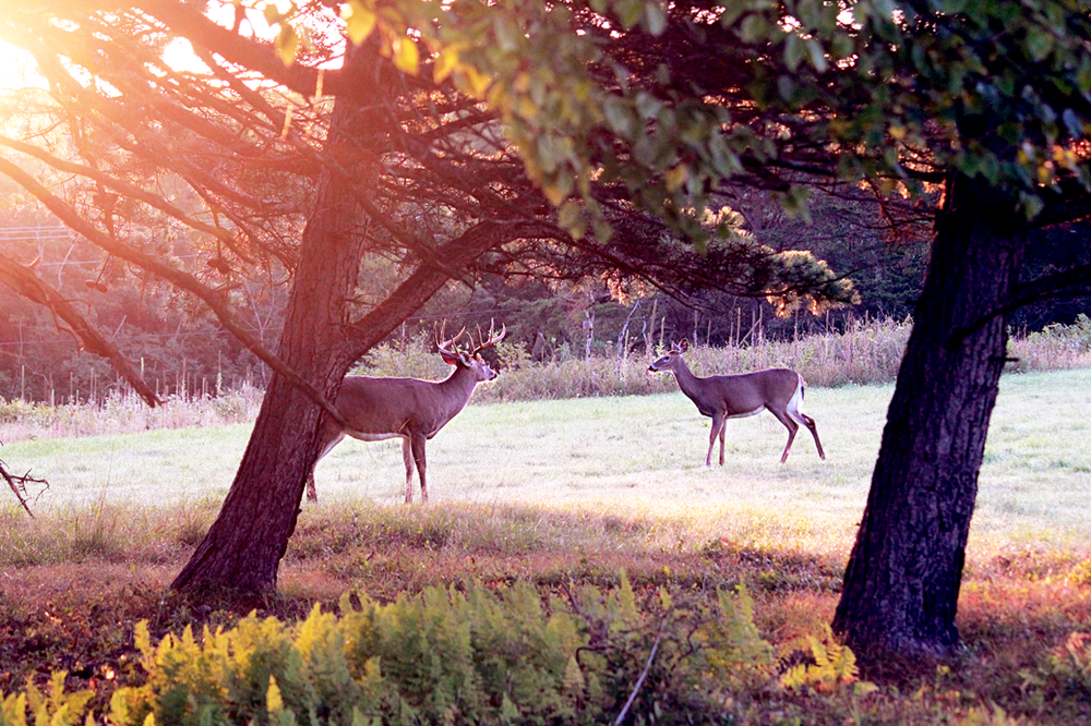 A family of deer at dawn in the Blue Ridge Mountains