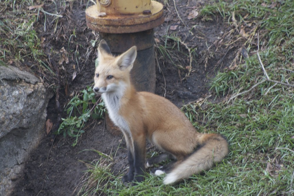 a photo of the little foxes that live right by my dad. they have a den dug into the side of a ditch...     and their momma fox is always watching over them so that they don't get too far from home...     i think she reads proverbs in her spare time.