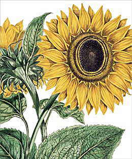 notes and queries sunflower.jpg