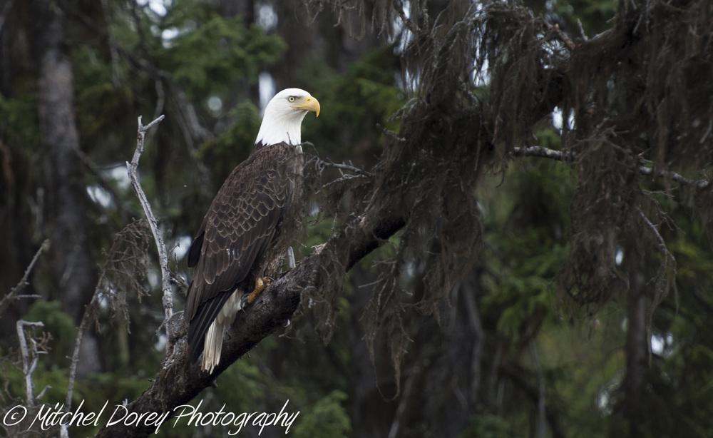 Bald Eagle-2.jpg