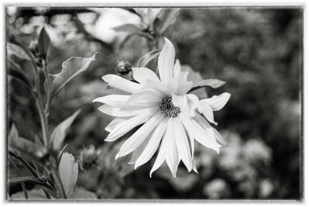 sunflowerstudyBW5xx_frame_lr.jpg