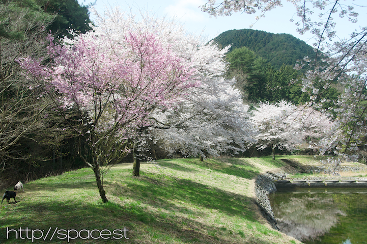 different kinds of cherry trees