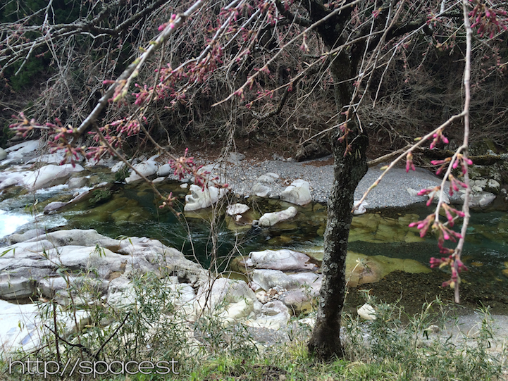 cherry blossoms 500m upstream from SPACE riverhouse