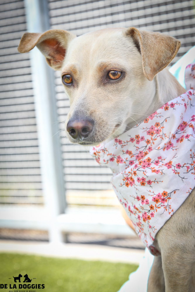 Hi my name is Amber. A1417218 / Kennel no:SPF37 I am a 3 year old, unaltered female, tan and white Dachshund and Chihuahua mix. I am calm, sweet & a lap dog! The best way to describe me is SWEET & gorgeous!  I was brought in as a stray & have been at the shelter since Aug 16, 2013. Please come meet me! South LA animal shelter 1850 West 60th street  Los Angeles, CA 90047 L.A. 90018 (213) 485-0214 (213) 485-0227 (213) 485-0303