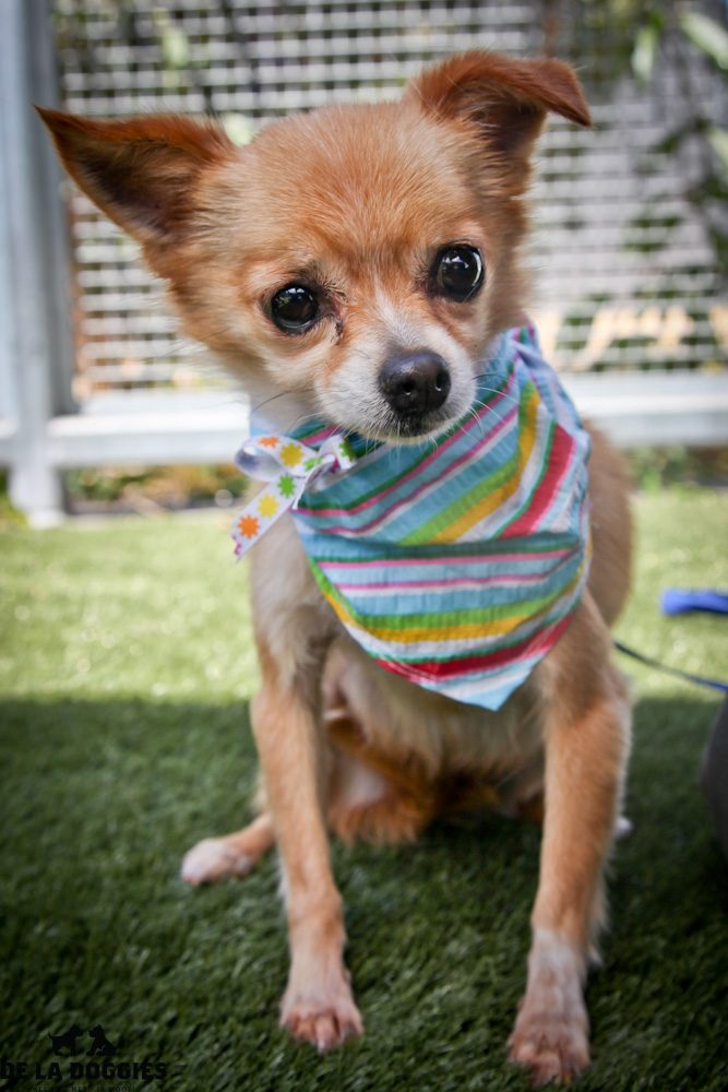 Hi my name is Foxy. A1417116 / Kennel no:SPF220  I am an 8 year old, already spayed female, brown and white Pomeranian. I am calm, sweet & will melt into your arms when you hold me! I am soft and a big cuddler. I was an owner surrender & have been at the shelter since Aug 16, 2013.  South LA animal shelter 1850 West 60th street   Los Angeles, CA 90047 L.A. 90018 (213) 485-0214 (213) 485-0227 (213) 485-0303
