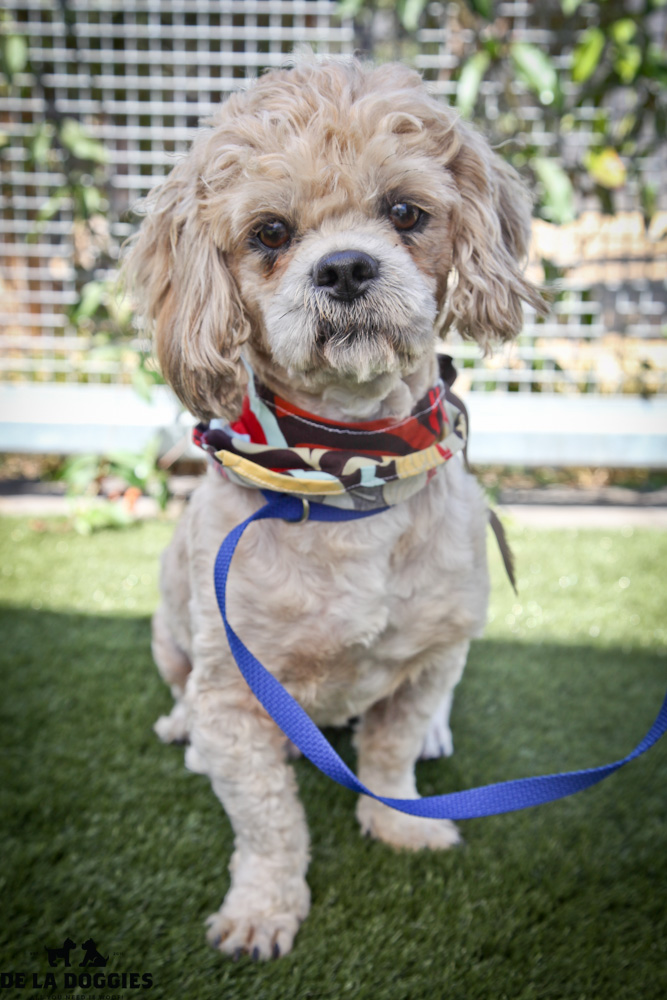 Hi my name is Joe Dirt. A1415898 / kennel no:SPM158 I am a 2 year old, unaltered male, cream Shih Tzu. I am a little serious guy but SUPER friendly. I will sit in your lap all day if you let me! I was caught as a stray & have been at the shelter since Aug 12, 2013. Please come meet me! South LA animal shelter 1850 West 60th street  Los Angeles, CA 90047 L.A. 90018 (213) 485-0214 (213) 485-0227 (213) 485-0303