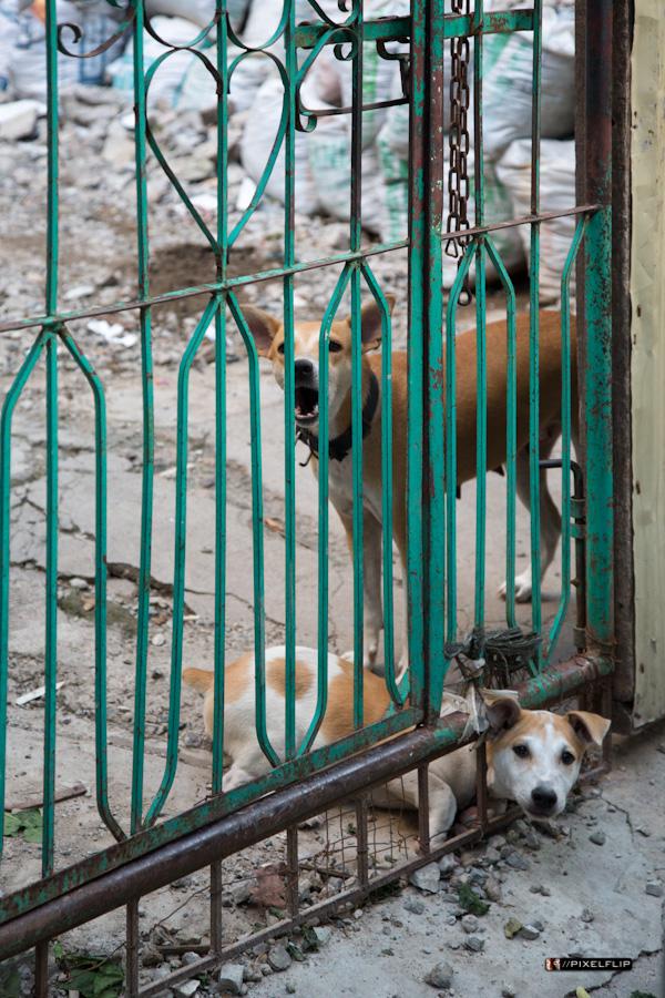 Cebu_Dogs-6-2.jpg