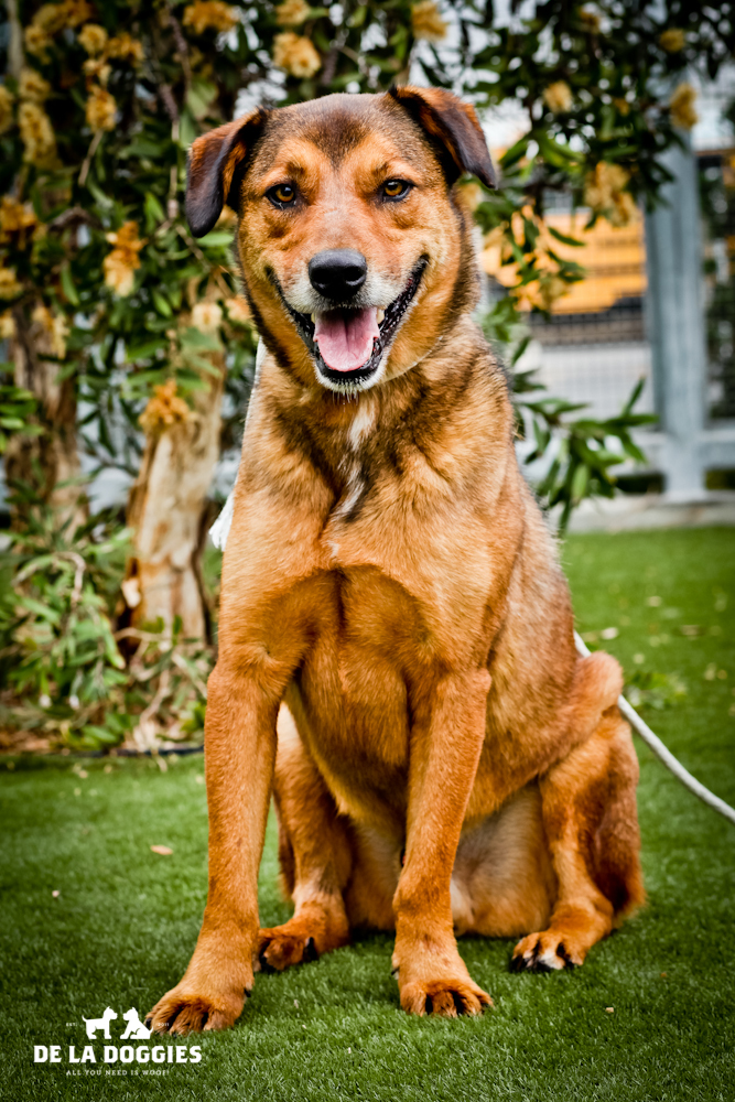 Hi my name is Gordo. A1435328   I am a 3 year old, already neutered male, brown and black German Shepherd Dog mix. I have been at the shelter since Nov 01, 2013.. PLEASE come meet me!!    1850 West 60th street    Los Angeles, CA 90047   L.A. 90018   (213) 485-0214
