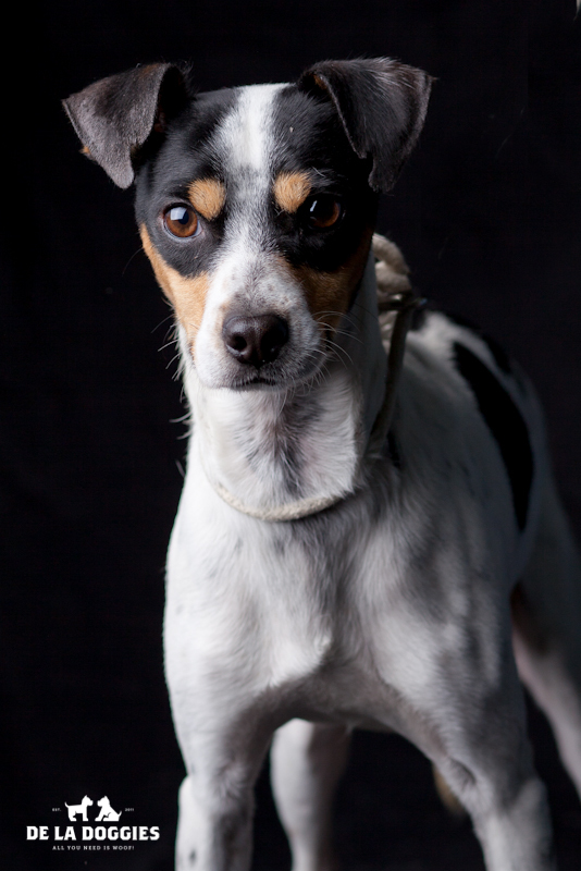 Hi my name is Lucky. A1428567 I am a 4 year old, already neutered male, tricolor Rat Terrier mix. I have been at the shelter since Oct 01, 2013. PLEASE come meet me!!! 1850 West 60th street  Los Angeles, CA 90047 L.A. 90018 (213) 485-0214