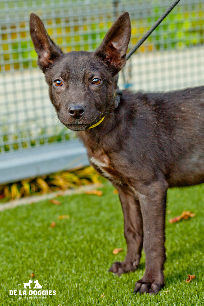 Hi my name is Joey. A1438863   I am a 3 month old, 8lb, unaltered male, black German Shepherd Dog. I have been at the shelter since Nov 20, 2013. Please come meet me!     1850 West 60th street   Los Angeles, CA 90047 L.A. 90018 (213) 485-0214