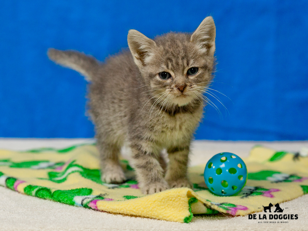 A4656757 Nuggets is a three month old gray tiger male Domestic Shorthaired kitten who was found in East Los Angeles on November 28th and brought to the Downey Shelter. Nuggest weighs 1.2 pounds.