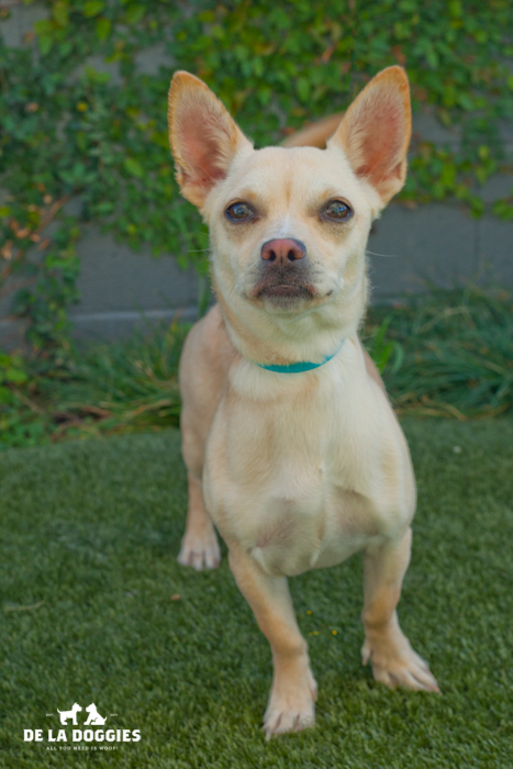 Alo! My name is Esme A1443095 I am a female, one year old chihuahua mix who came into the shelter as a stray on December 14th. I have been here a long time, please come visit me! South LA Shelter 1850 West 60th street Los Angeles, CA 90047 L.A. 90018 (213) 485-0214