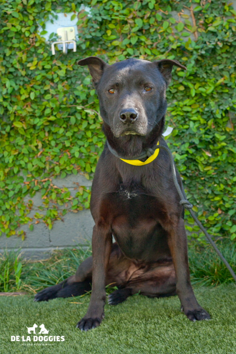 Hola! My name is Shelby A1445549. I am a spayed, six years old jindo mix, who came in as a stray on January 1st. I weigh forty seven pounds. I am pretty mellow and miss being in a home.   Please visit me!    South LA Shelter   1850 West 60th street   Los Angeles, CA 90047   L.A. 90018   (213) 485-0214