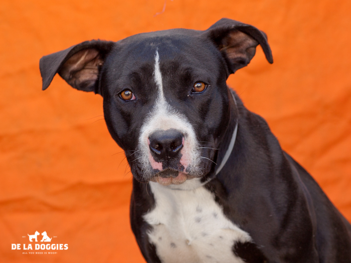 A4667883 Wilma (Flintstone) is an adorable one year old female black and white Pit Bull puppy who was found in Compton on January 13th and brought to the Downey Shelter. Weighing fifty pounds, this charmer walks okay on leash but will benefit from additional training. She is eager-to-please, gets along beautifully with dogs of all sizes and we believe she will be an outstanding playmate for children. She also scored perfectly on her shelter given temperament test! Wilma is a super sweet puppy who is be an excellent indoor pet for an active individual or family living in a private home. To watch a video of Wilma (Flintstone) please click here: www.youtube.com/watch?v=6-du121m7g0