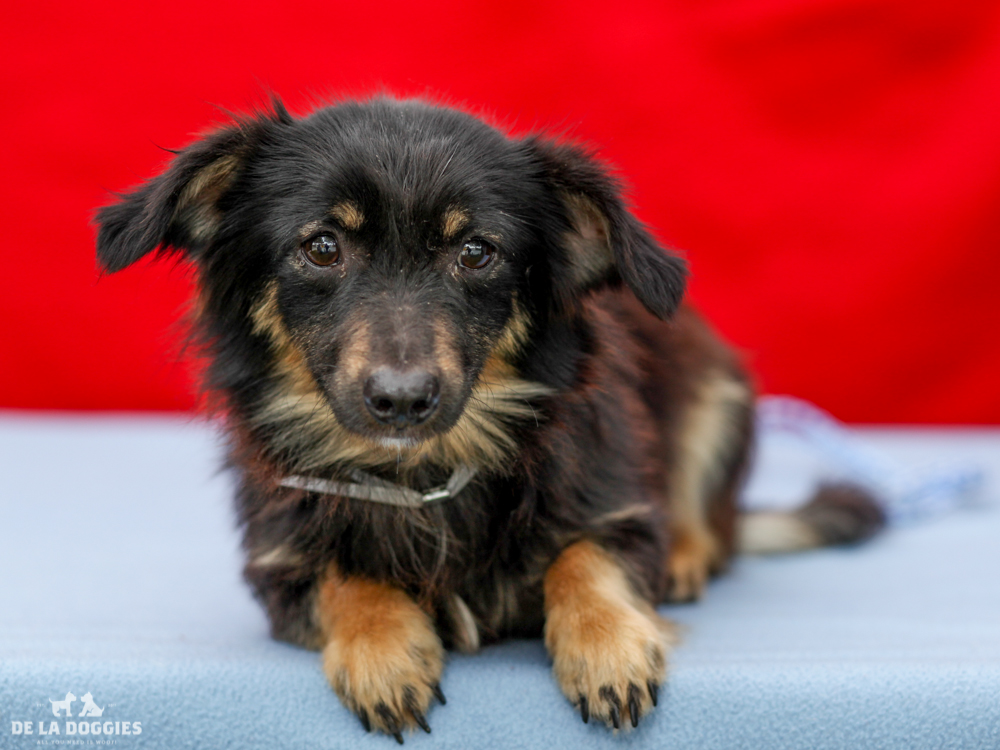 A4718144 Moe is a docile one year old black and tan male Sheltie/Pomeranian mix puppy who was found in East Los Angeles on June 5th with his companions Manny (A4718143) and Jack (A478148) and brought to the Downey Shelter. Weighing eleven pounds, this sweetheart walks okay on leash but could use some additional training. He is easy going, gets along fine with other dogs and we think he will be happy in a home with well-behaved children. Moe is a natural born lapdog for a mature family in any living situation.  To watch a video of Moe:  www.youtube.com/watch?v=pEYWhv5XAzY