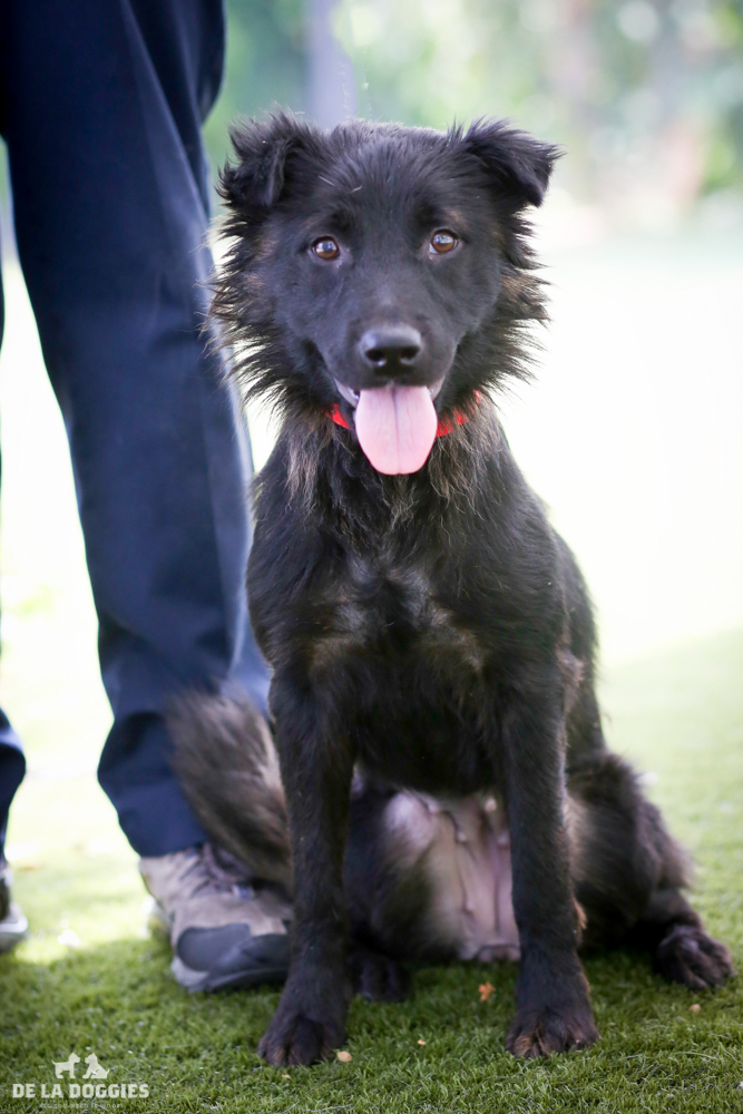 Hi my name is Samantha!   A1499101   I am a 4 year old, spayed female, black Shetland Sheepdog.   I have been at the shelter since Aug 06, 2014.   Please come meet me!    1850 West 60th street Los Angeles, CA 90047 L.A. 90018 (213) 485-0214