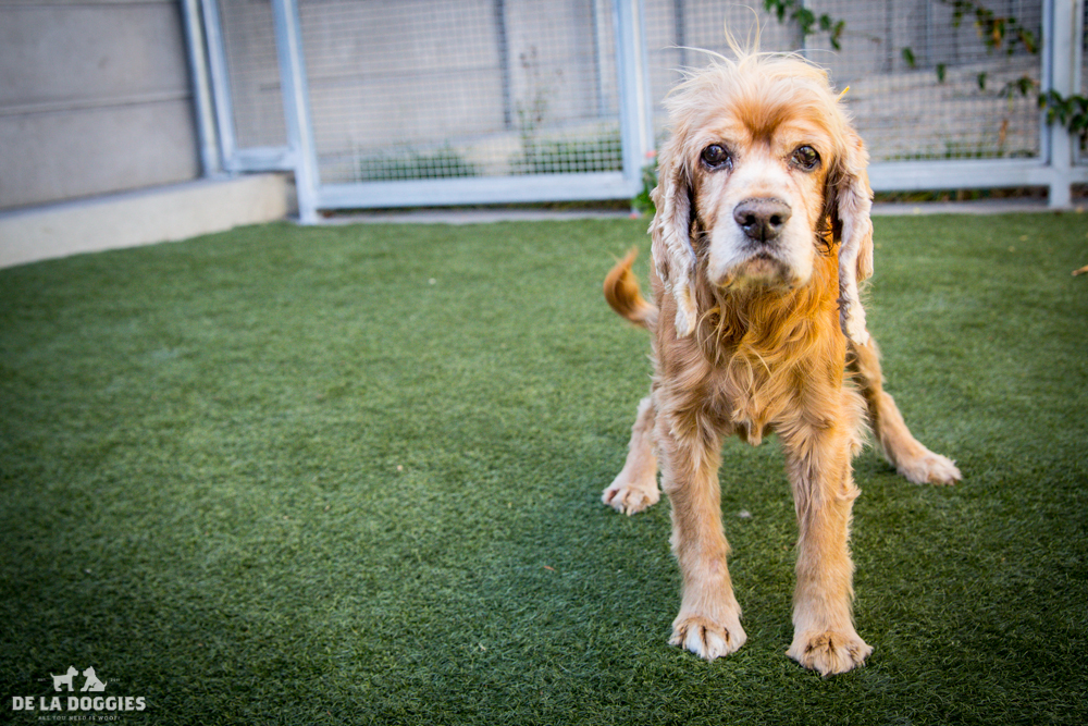 Hi my name is Van Gogh.  A1508275 I am a 13 year old unaltered male, red Cocker Spaniel. I have been at the shelter since Sep 16, 2014. Please come meet me! 1850 West 60th street Los Angeles, CA 90047 L.A. 90018 (213) 485-0214