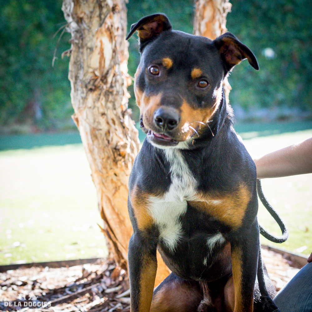 Hi my name is Joss!   A1514696   I am a 1 and a half year old, unaltered male, black and tan Rottweiler.   I have been at the shelter since Oct 13, 2014. PLEASE come meet me!    1850 West 60th street   Los Angeles, CA 90047 L.A. 90018 (213) 485-0214