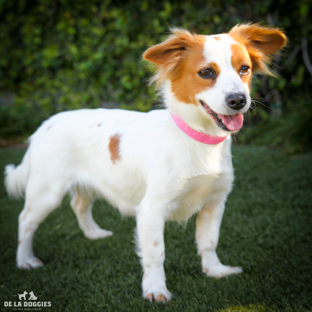 My name is Mayra A1532122, and I am a two year old papillon/jack russell mix who came into the shelter as a stray. Holla!      1850 West 60th street Los Angeles, CA 90047 L.A. 90018 (213) 485-0214 (213) 485-0227 (213) 485-0303