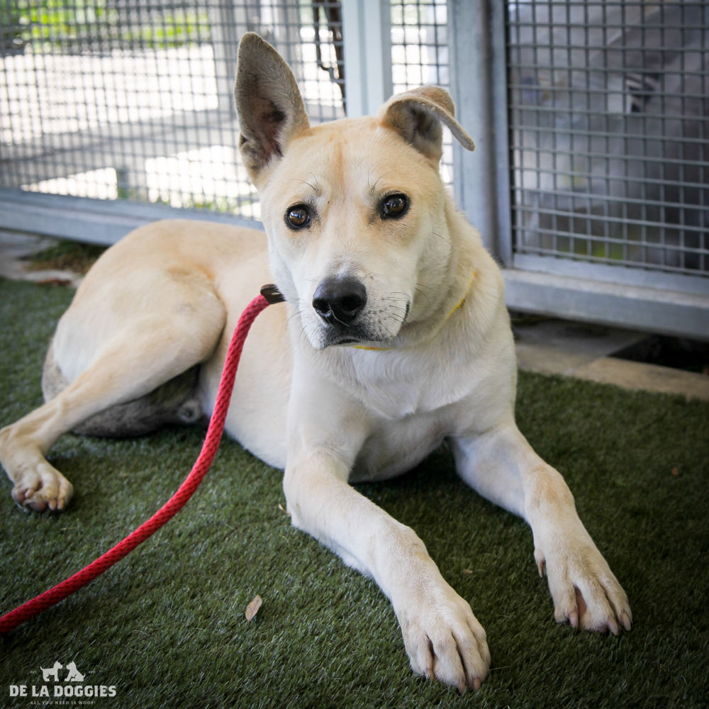 My name is Skippy A153220, and I am a german shepherd mix who is to be about one years old. I came into the shelter as a stray. I'm shy with humans but love other dogs! Help me!      1850 West 60th street Los Angeles, CA 90047 L.A. 90018 (213) 485-0214 (213) 485-0227 (213) 485-0303