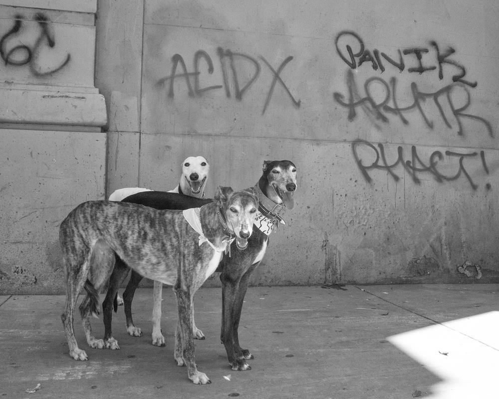 acidgreyhounds.jpg