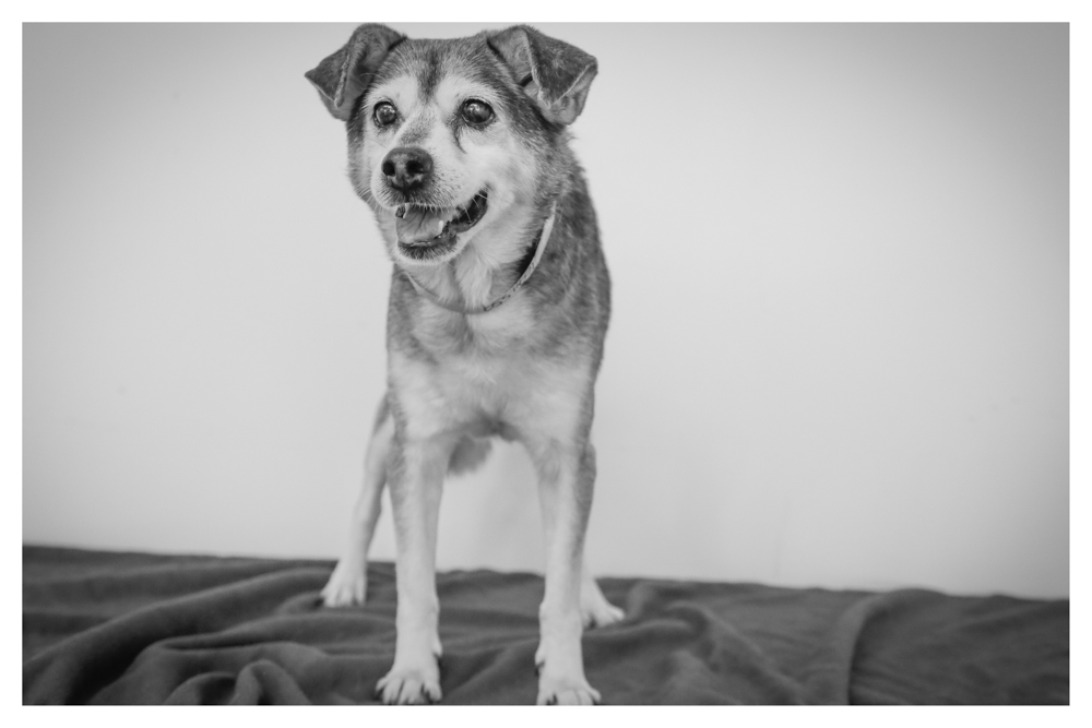 Jake A1694559 this handsome 8 year old male lab mix is currently in medical due to an injured front leg. Jake was a stray! Loves getting rubbins and giving kisses